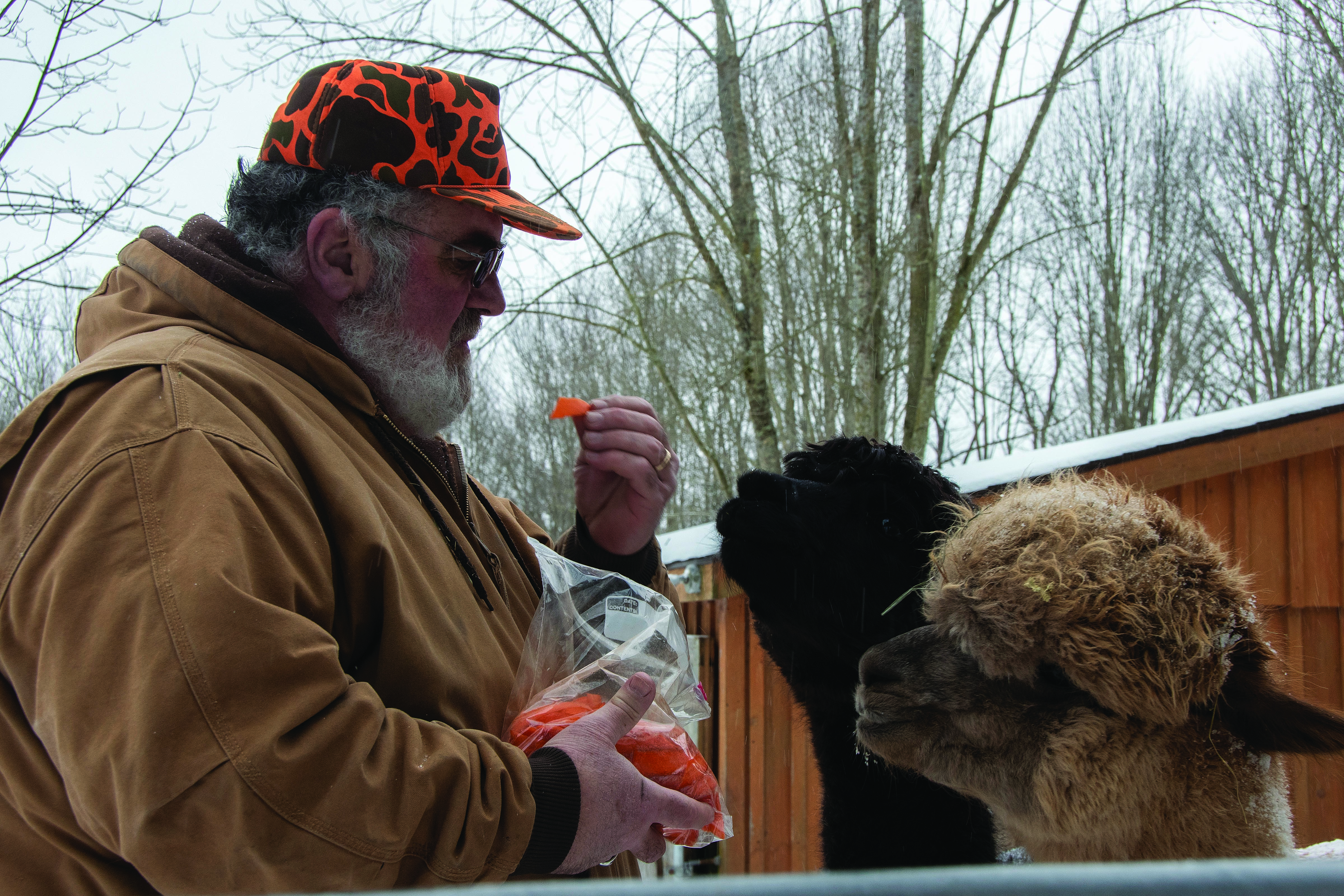 PEACEFUL EXISTENCE: Ray DiBono, owner of Artisan Alpacas LLC, feeds a carrot to one of the 12 alpacas at his home in Dushore, Pa. DiBono, a Sullivan County Rural Electric Cooperative member, credits his herd for his constant good mood.