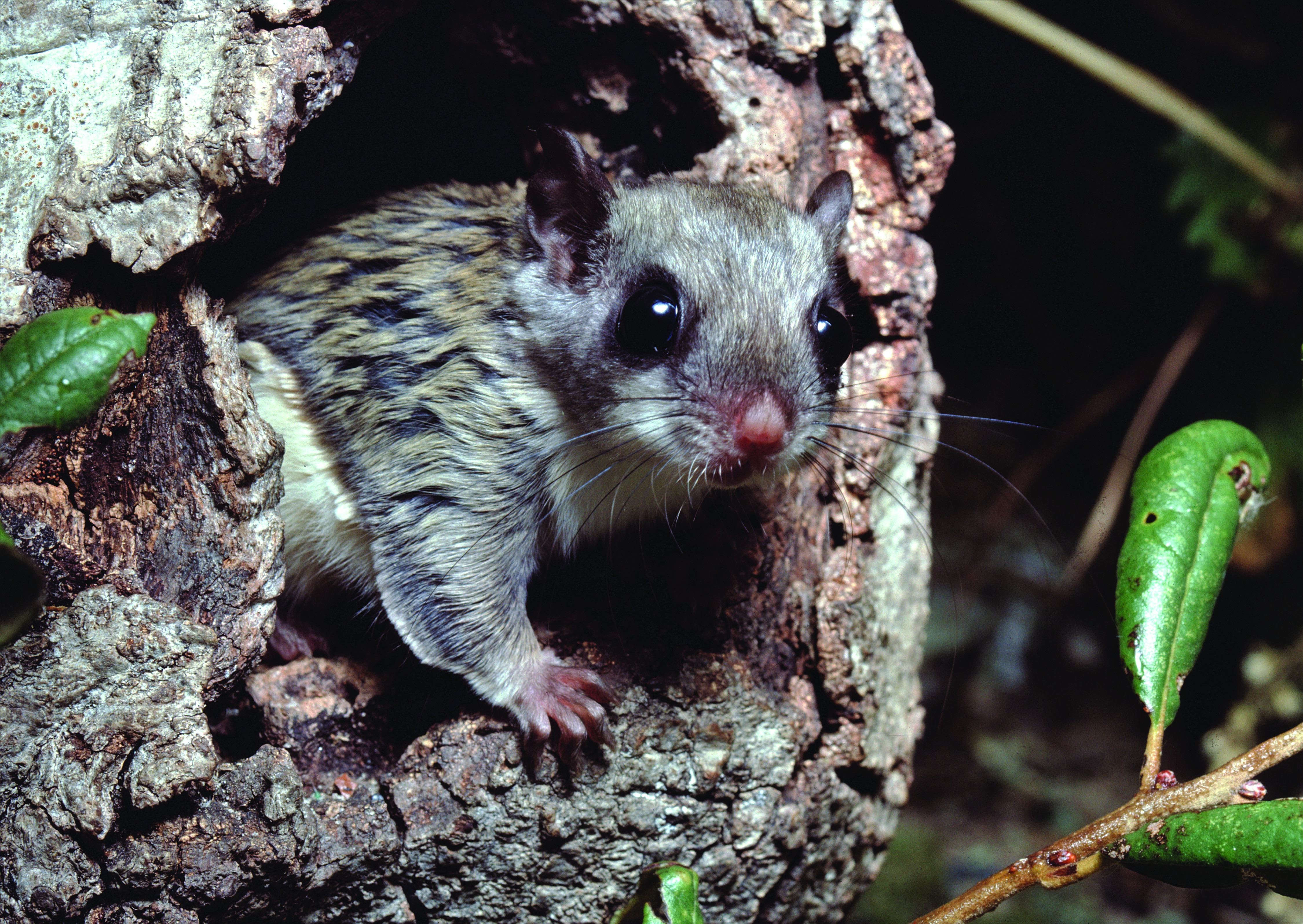 THE BETTER TO SEE YOU WITH: Both the nocturnal northern flying squirrels and southern flying squirrels have large eyes, which helps them to see better at night.